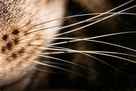 what do whiskers do for a obrazek do sł 243 wka w słowniku diki diki