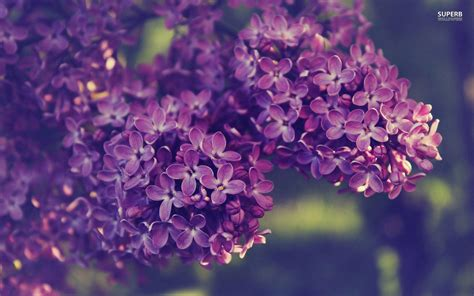 lilac background lilac wallpapers wallpaper cave