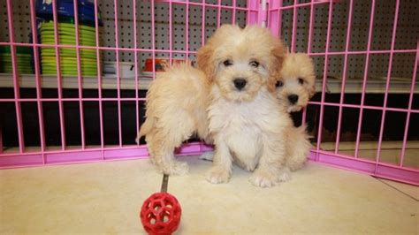goldendoodle puppies for sale in ga pretty miniature goldendoodle puppies for sale in ga hybrid puppy breeders atlanta