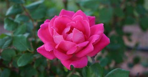 Imagenes Jpg No Se Abren | cuando las rosas no se abren plantas