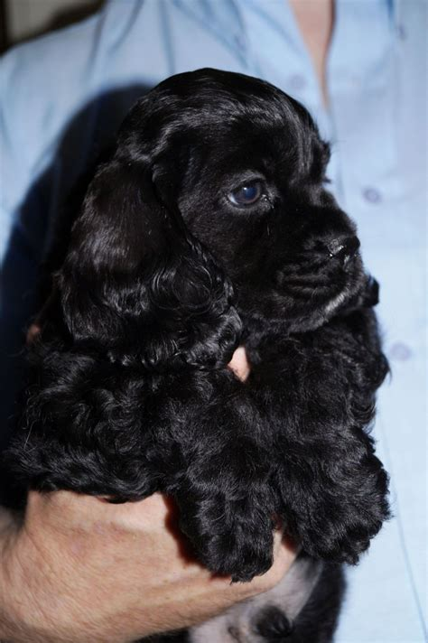 american cocker spaniel puppies american cocker spaniel puppies huddersfield west pets4homes