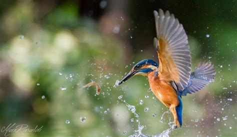 wwwwild bird photocom3gp spectacular images of kingfisher in planet custodian