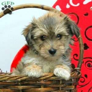 yorkie chon puppies for sale in lancaster pa yorkie chon puppies for sale in de md ny nj philly dc and baltimore