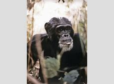 Meet the Chimpanzees - Reinventing Our Understanding of ... Jane Goodall Death