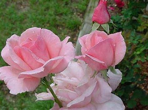 gambar bunga mawar indah koleksi gambar dan foto menarik gambar bunga mawar terindah dan terbaru9