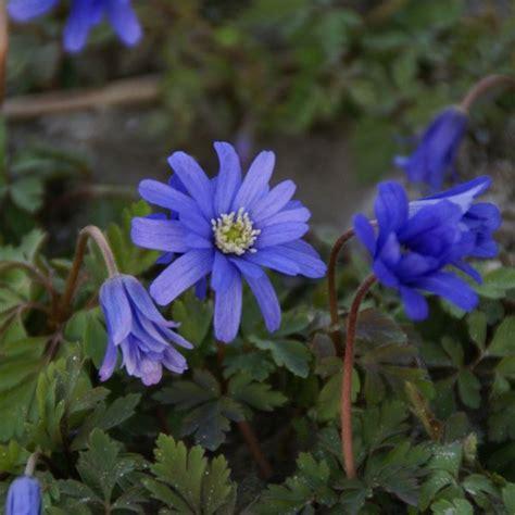 anemone apennina anemone apennina petrovac nijssen tuin heemstede