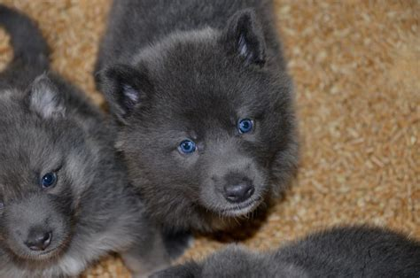 blue bay shepherd puppies blue bay shepherd favorite breeds
