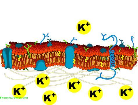 cell potassium gradient