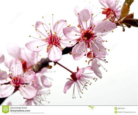 fiore giapponese ramo di albero sbocciante con i fiori rosa immagine stock