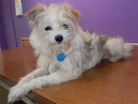 shih tzu terrier mix weight shiloh shih tzu humane society of dallas county