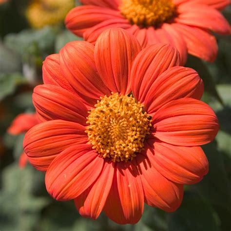 mexican sunflower seeds groworganic com