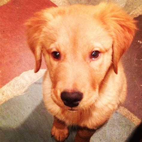 golden retriever puppies ni 2068 best golden retrievers images on golden retrievers beautiful and doggies
