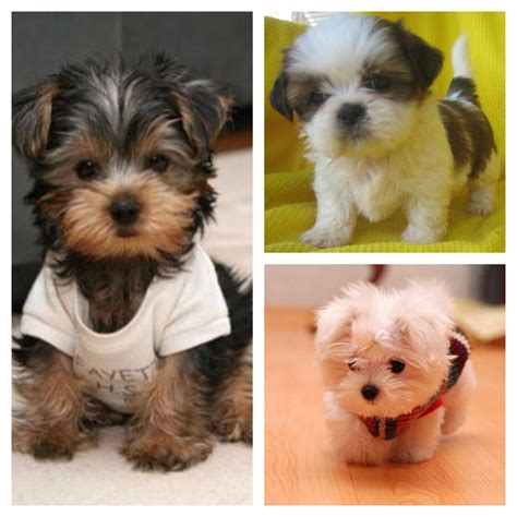 shih tzu teacups day 10 pets i ve always wanted teacup yorkie teacup shih tzu teacup maltese