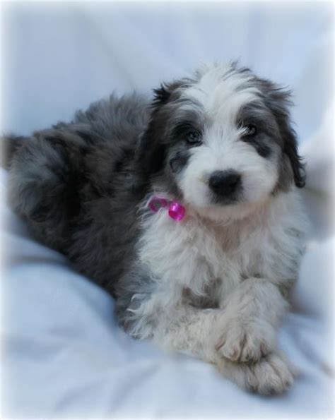 puppies for sale in wausau wi aussiedoodle puppies wisconsin available puppies at camokin aussidoodles in wisconsin