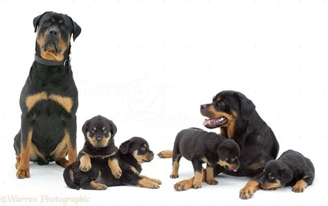 rottweiler as family dogs rottweiler family photo wp10276