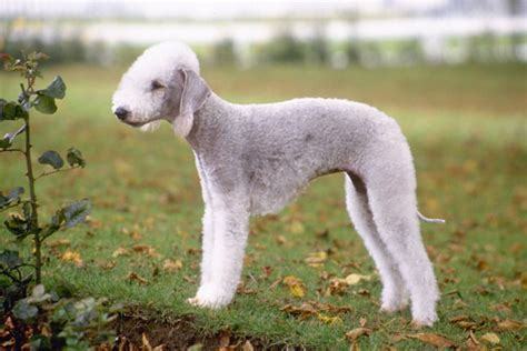 bedlington terrier puppies for sale bedlington terrier puppies for sale from reputable breeders
