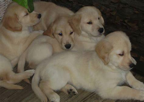 golden retriever puppies ta fl niedliche golden retriever welpen zu verkaufen 150 hunde