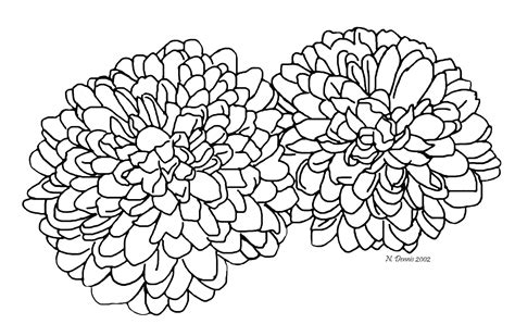 chrysanthemum flower drawing sketch coloring page