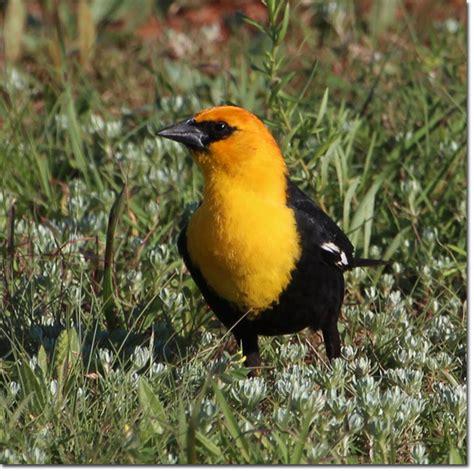 Backyard Yellow Birds Backyard Bird Yellow Headed Blackbird