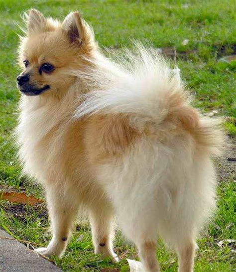 haired pomeranian haired chihuahua vs pomeranian breeds picture
