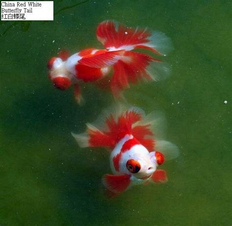 china doll goldfish 89 best images about best gold fish on