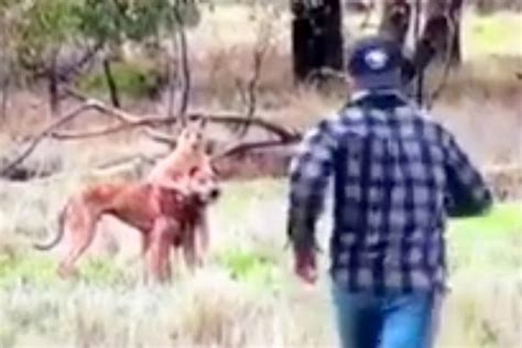 kangaroo with in headlock wrenching story of punching kangaroo after it attacked his