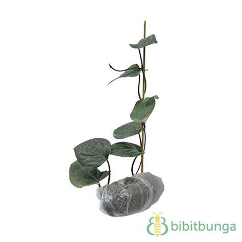 tanaman sirih hitam bibitbunga