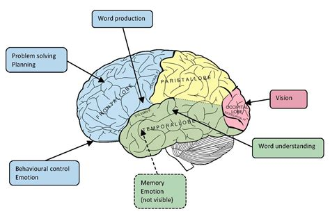 sections of the brain and functions girlshopes