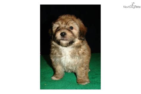 yorkie poo puppies for sale va teacup yorkie poos in virginia breeds picture