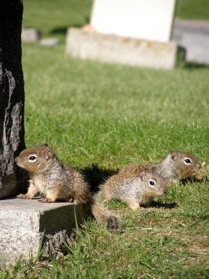 squirrel pest garden 17 best images about rodent repellent on mice