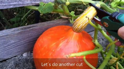 wann sind äpfel reif zum ernten how to harvest hokkaido pumpkins hokkaido k 252 rbisse im