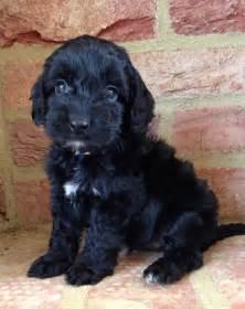 Cockapoo puppies rescue pictures information temperament