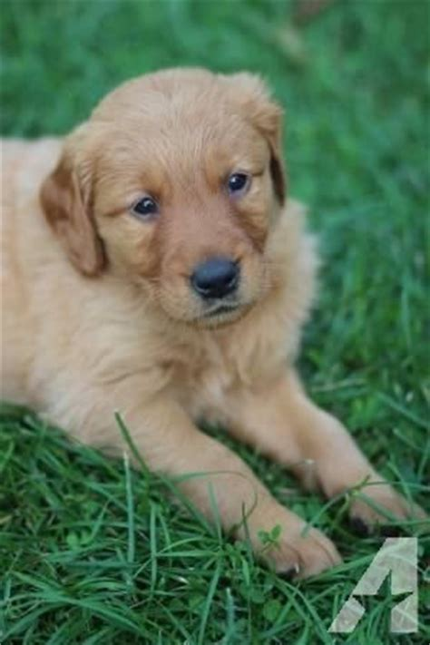 golden retriever for sale mn akc golden retriever puppies for sale in lonsdale minnesota classified