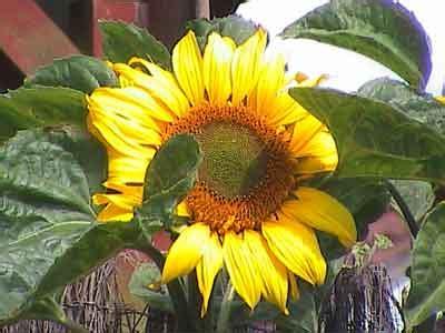 growing sunflower seeds for birds bird table news