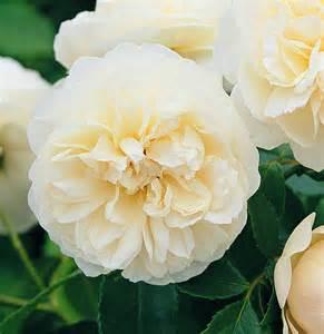 Fresh Rose Petals Lichfield Angel Rose The Rose Journal