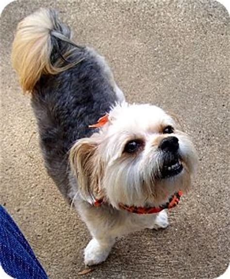 yorkie rescue indiana ruby adopted indianapolis in yorkie terrier maltese mix