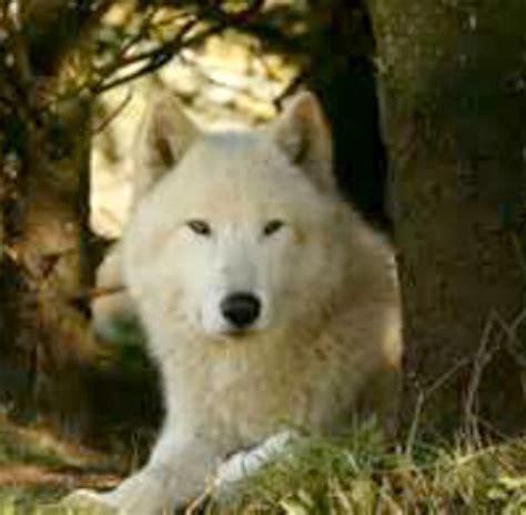 white wolf puppies white wolf