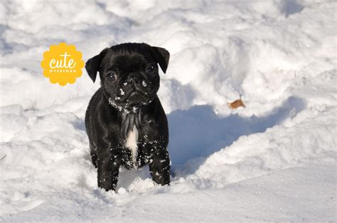 next pug wallpaper of the month january 2016