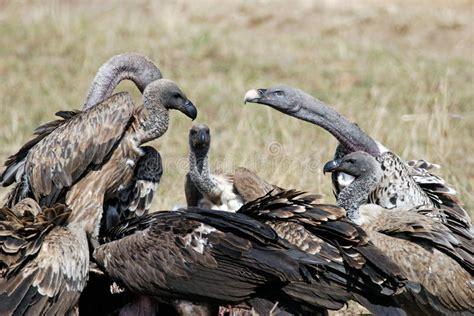 imagenes animales muertos agrupe los buitres que comen animales muertos en la sabana