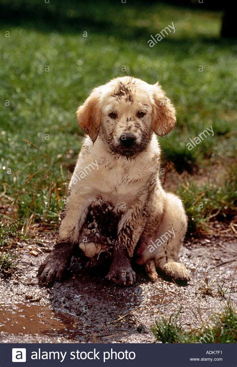 7 in 1 for puppies golden retriever puppy in mud stock photo royalty free image 2488304 alamy