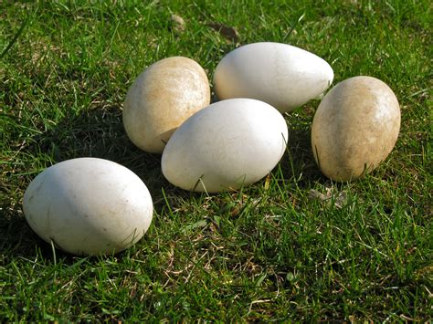 canadian goose eggs and the protocol for population control