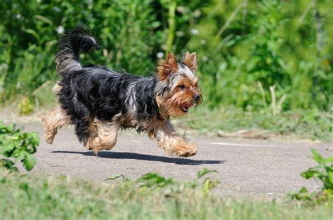 best way to a yorkie puppy best ways to calm your terrier reference breeds picture
