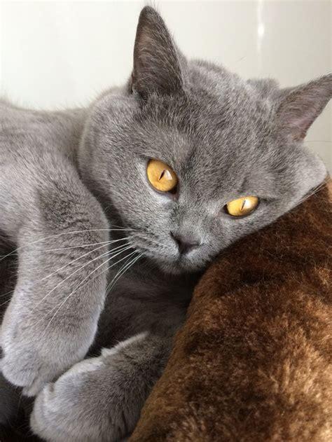 shorthair cat best 25 shorthair ideas on