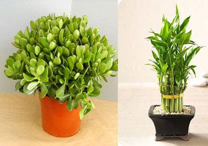 good desk plants office desk lucky plants kerala latest news kerala