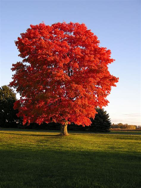 maple tree symbolism these top maple varieties provide the fall color you need