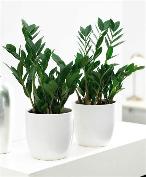 Tanaman Zamia Plant Zz Plant indoor plants for corners