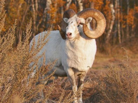 dall sheep books 17 best images about sheep on horns hunt