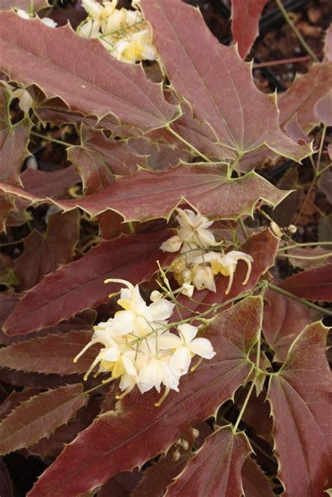 plant delights nursery announces   catalog