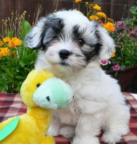 white havanese puppy   friend cuddly toy cute