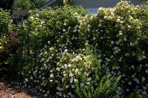 happenstance rose rose notes